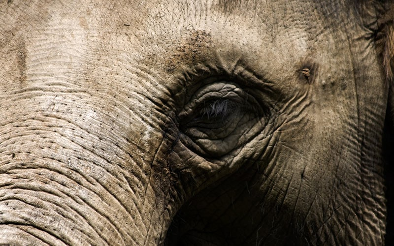 An old elephant with wisdom in their eyes