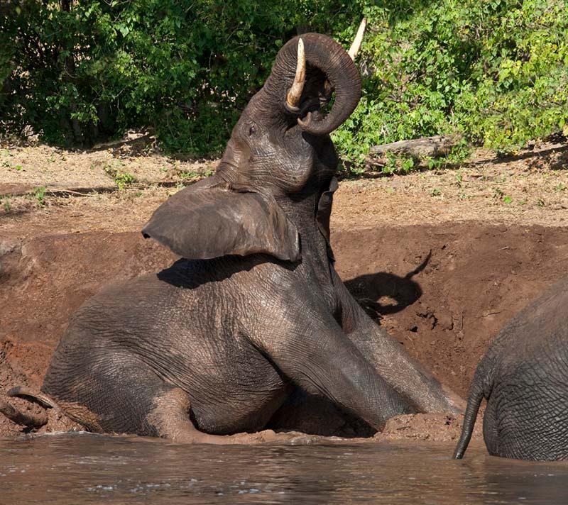 A mud bath for an elephant