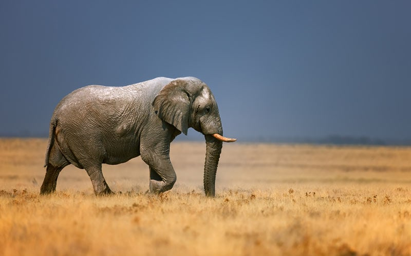 Even when they're far away, they can still communicate with other elephants.