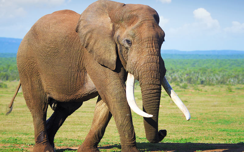 Elephants are the largest land animal, and in turn, the largest land mammal as well.